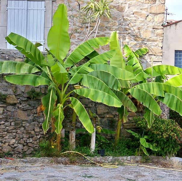 Bananier Photo credit Cassiopée2010 on VisualHunt - La jardinerie de pessicart nice - Livraison a domicile nice 06 plantes vertes terres terreaux jardinage arbres cactus