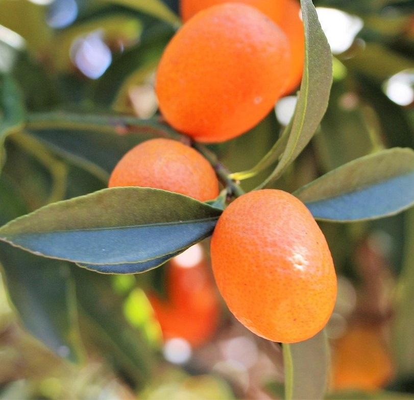 Kumquat - Image par Juan Carlos Torrico de Pixabay - La jardinerie de pessicart nice - Livraison a domicile nice 06 plantes vertes terres terreaux jardinage arbres cactus