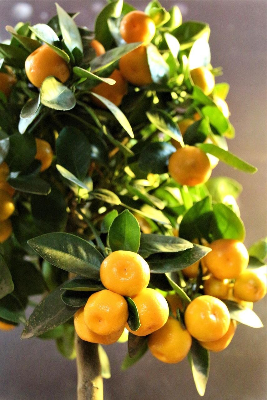 Calamondin - Oranger d\'appartement