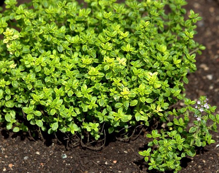 Thym citron panaché et vert