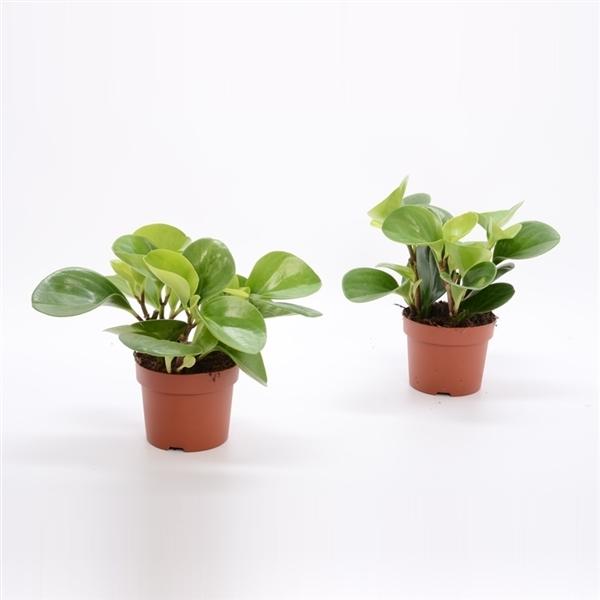peperomia obtusifolia green gold - La jardinerie de pessicart nice - Livraison a domicile nice 06 plantes vertes terres terreaux jardinage