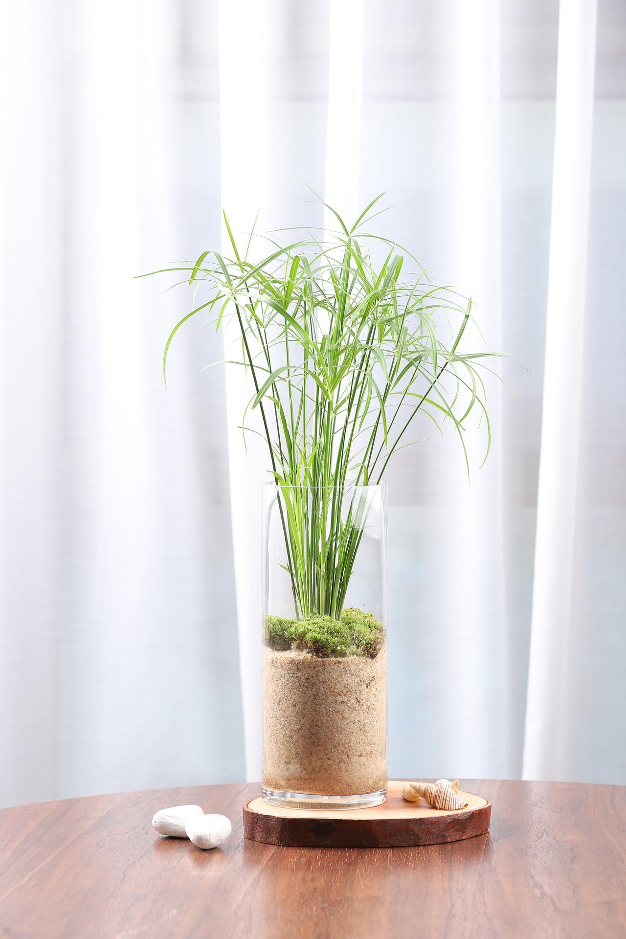 papyrus 2 - Image par subin cho de Pixabay  -  La jardinerie de pessicart nice - Livraison a domicile nice 06 plantes vertes terres terreaux jardinage arbres cactus