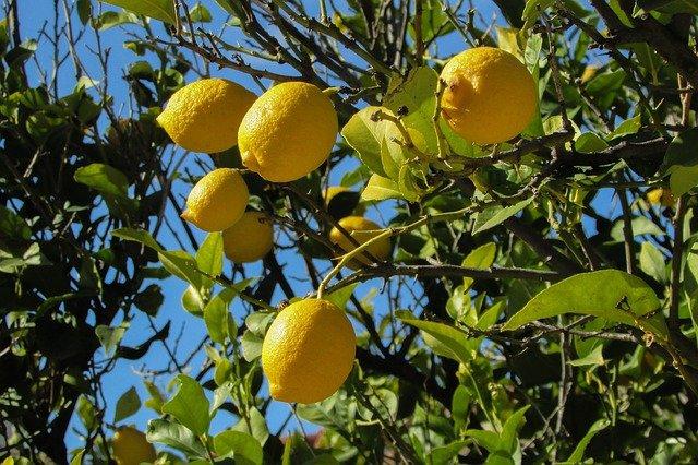 Citronnier la jardinerie de pessicart 06100 Nice