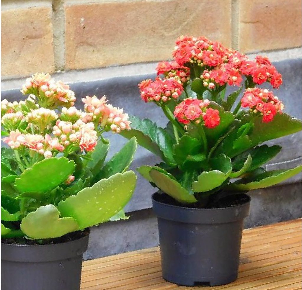 Kalanchoe - Photo credit Sumana Khanom on Visualhunt.com - La jardinerie de pessicart nice - Livraison a domicile nice 06 plantes vertes terres terreaux jardinage arbres cactus