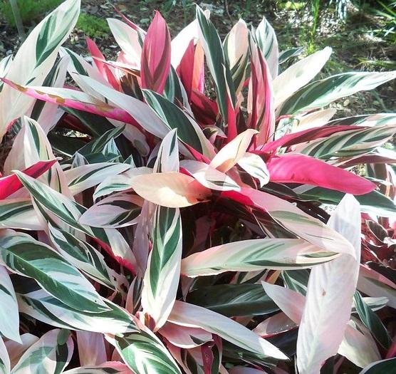 calathea triostar - Photo credit Javierahr on Visualhunt - La jardinerie de pessicart nice - Livraison a domicile nice 06 plantes vertes terres terreaux jardinage arbres cactus