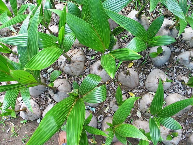 cocos nucifera cocotier-Photo credit Bioversity International on Visualhunt - La jardinerie de pessicart nice - Livraison a domicile nice 06 plantes vertes terres terreaux jardinage arbres cactus