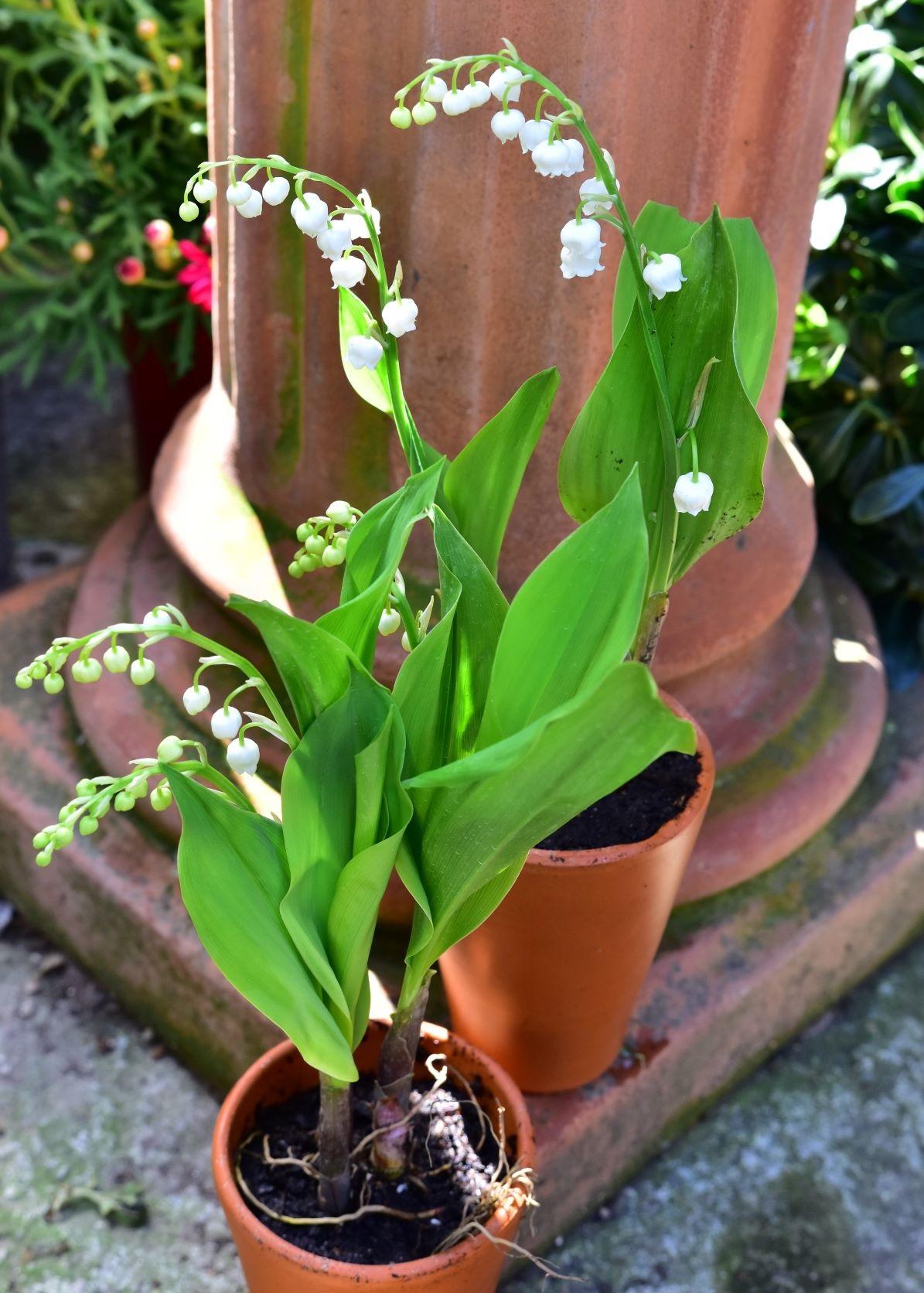 Pot de Muguet - La jardinerie de pessicart - nice Livraison plantes idées cadeau
