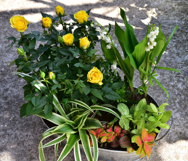 Grosse barque muguet - La jardinerie de pessicart - nice Livraison plantes idées cadeau (5)