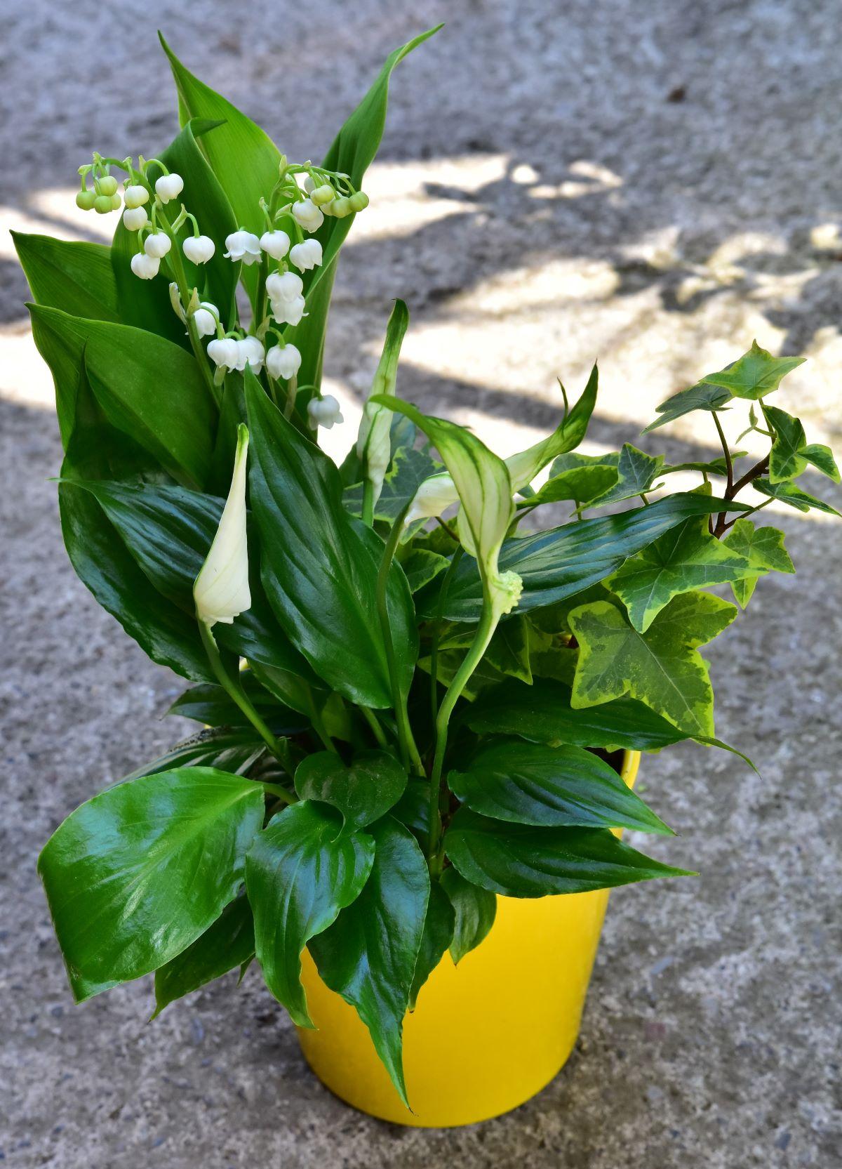 Pot couleur muguet - La jardinerie de pessicart - nice Livraison plantes idées cadeau (11)