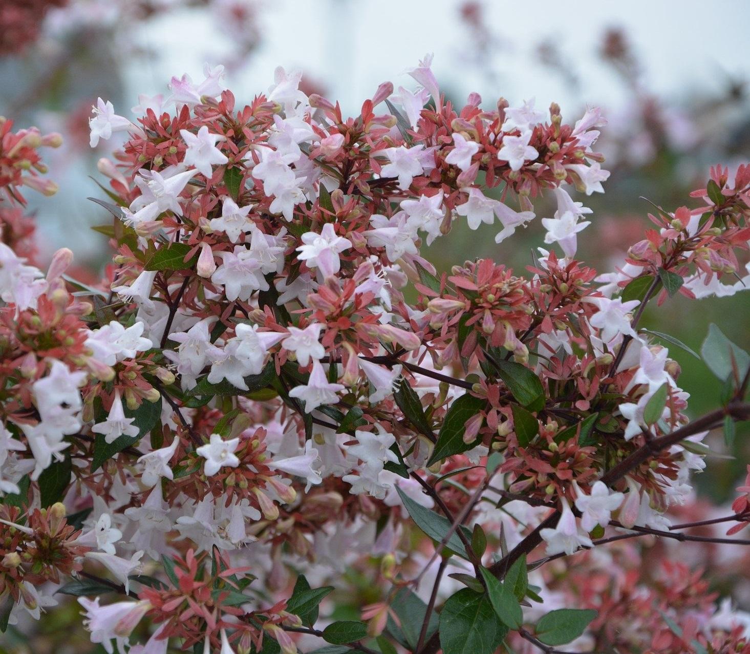 abelia - Image par JackieLou DL de Pixabay  - La jardinerie de pessicart nice - Livraison a domicile nice 06 plantes vertes terres terreaux jardinage arbres cactus