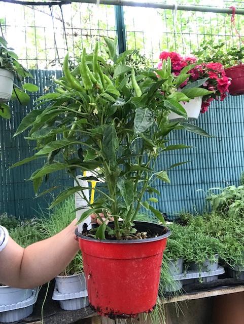 piments en pots avec fruis  - La jardinerie de pessicart nice - Livraison a domicile nice 06 plantes vertes terres terreaux jardinage arbres cactus
