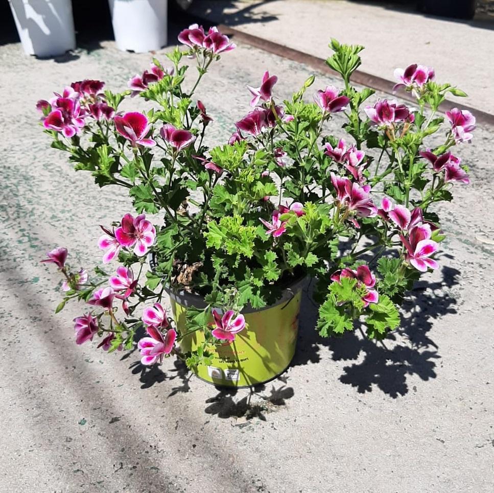 pelargonium geranium citrodorum anti moustique odorant repulsif  - La jardinerie de pessicart nice - Livraison a domicile nice 06 plantes vertes terres terreaux jardinage arbres cactus