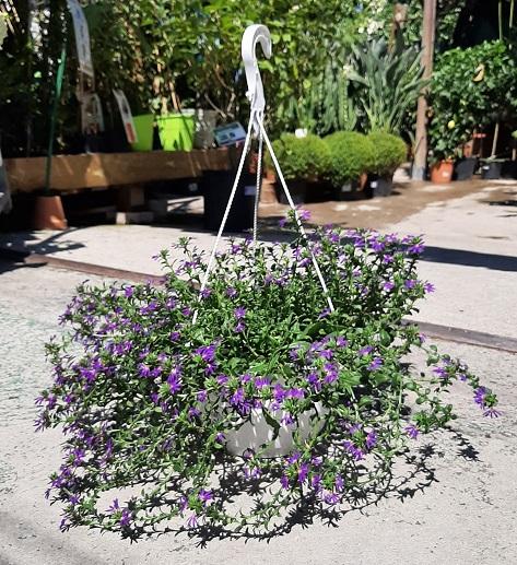 scaevola suspension plante fleurie  - La jardinerie de pessicart nice - Livraison a domicile nice 06 plantes vertes terres terreaux jardinage arbres cactus