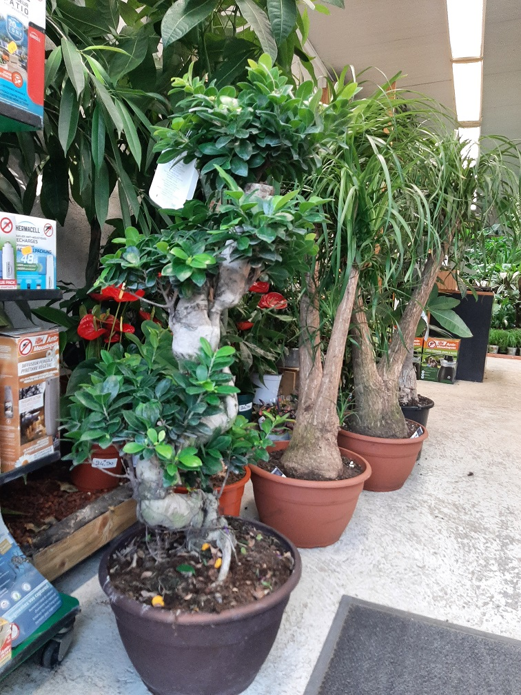 FICUS GINSENG COUPE35 FORME S la jardinerie de pessicart nice 06100
