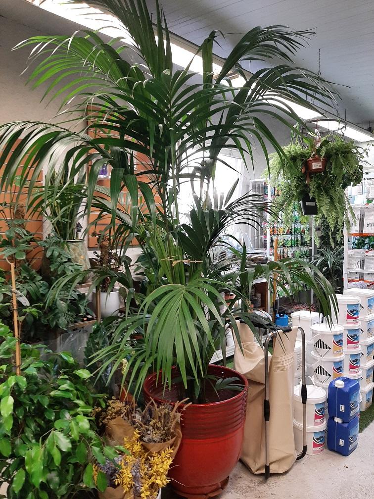 KENTIA  C15 250 howea forestiana la jardinerie de pessicart nice 06100