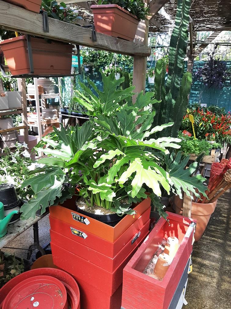 Philodendron Selloum C10 la jardinerie de pessicart Nice 06100