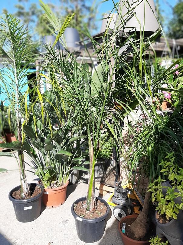 Arecastrum Romanzoffianum ou Cocotier plumeux - La Jardinerie de Pessicart Nice 06100