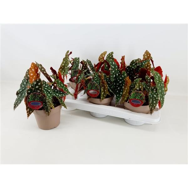 begonia maculata a poids dotted - La Jardinerie de Pessicart - Livraison a domicile nice 06 plantes vertes terres terreaux jardinage arbres cactus