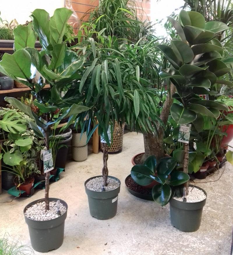 Ficus Tige dans pot à réserve d\'eau
