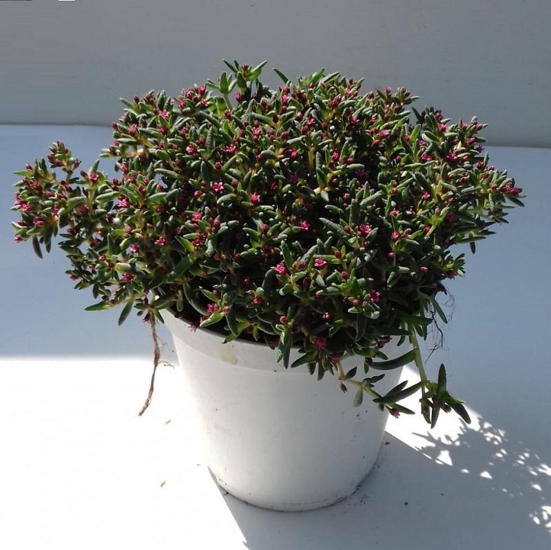 sedum crassula fleurs roses rocailles  - La jardinerie de pessicart nice - Livraison a domicile nice 06 plantes vertes terres terreaux jardinage arbres cactus (2)