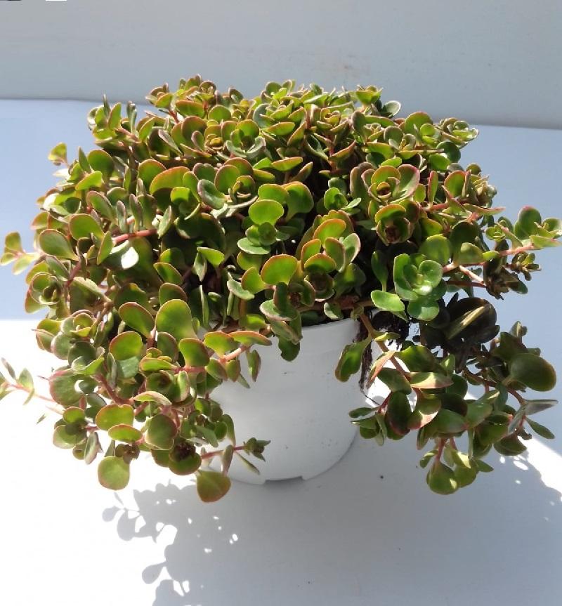 sedum makinoi plante grasse rocailles - La jardinerie de pessicart nice - Livraison a domicile nice 06 plantes vertes terres terreaux jardinage arbres cactus (2)
