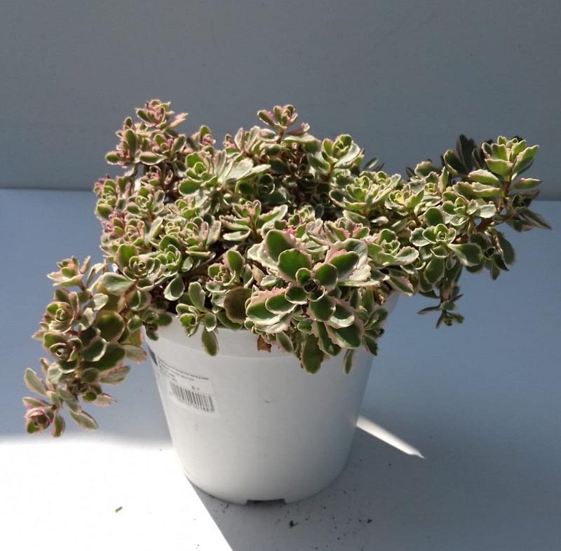 Orpin panaché - Sedum spurium \'Tricolor\'