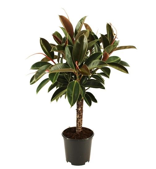 Ficus Elastica \'Melany\'