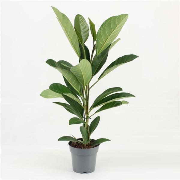 ficus benghalensis roy - La jardinerie de pessicart nice - Livraison a domicile nice 06 plantes vertes terres terreaux jardinage