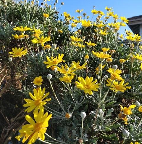 euryops pectinatus - Photo credit avlxyz on Visualhunt- La jardinerie de pessicart nice - Livraison a domicile nice 06 plantes vertes terres terreaux jardinage arbres cactus
