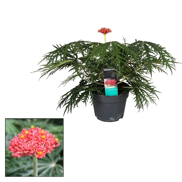 jatropha-multifida-h50-p17 - la Jardinerie de Pessicart Nice 06100