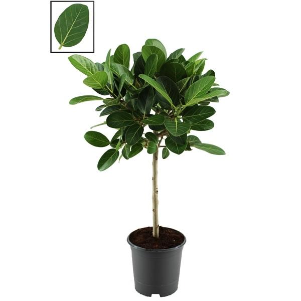 Ficus benghalensis \'Audrey\'