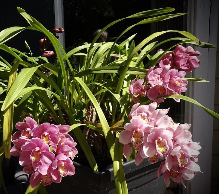 Cymbidium orchidée - Photo credit outdoorPDK on Visualhunt.com - La jardinerie de pessicart nice - Livraison a domicile nice 06 plantes vertes terres terreaux jardinage arbres cactus