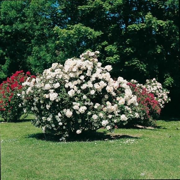 Rosiers buissons