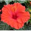 hibiscus rosa sinensis (9)