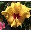 hibiscus rosa sinensis (7)