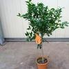 mandarinier2