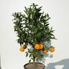 mandarinier3
