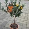 clementinier citrus clementina  - La jardinerie de pessicart nice - Livraison a domicile nice 06 plantes vertes terres terreaux jardinage arbres cactus