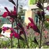sauges ornementales la jardinerie de pessicart (4)