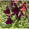 sauges ornementales la jardinerie de pessicart (5)