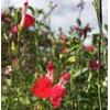 sauges ornementales la jardinerie de pessicart (6)