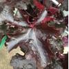 heuchere la jardinerie de pessicart JPG (3)