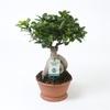 ficus ginseng microcarpa La jardinerie de pessicart