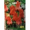 La jardinerie de Pessicart Bulbes les doigts verts Tulipes Roodkapje 10