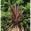 Cordylline feuillage pourpre La jardinerie de pessicart nice 06 2