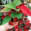 poinsettia la jardinerie de pessicart nice  (3)