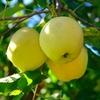 golden-delicious-la-jardinerie-de-pessicart-nice