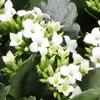 kalanchoe-blanc