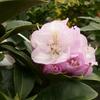 Rhododedron Gomer waterer la jardinerie de pessicartNice