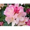 rhododendron percy wiseman la jardinerie de pessicart Nice